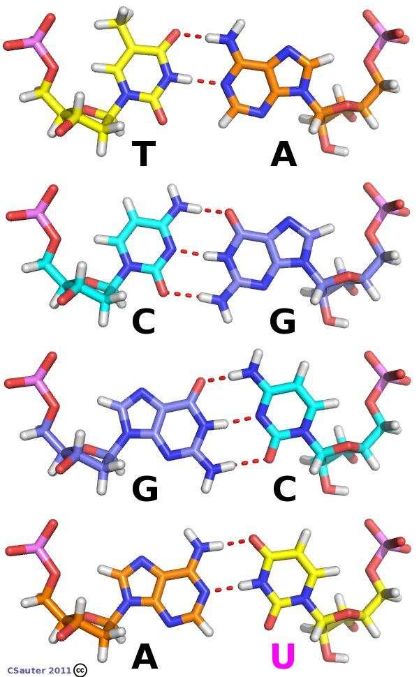 Les molécules d'ADN et d'ARN sont chimiquement très proches, mais le second possède un oxygène supplémentaire (en rouge à droite des lettres) sur les sucres (riboses) qui composent ses nucléotides (l'ADN contient en réalité du désoxyribose). En outre, la thymine (T) de l'ADN est remplacée par l'uracile (U) dans l'ARN. © Claude Sauter, CC