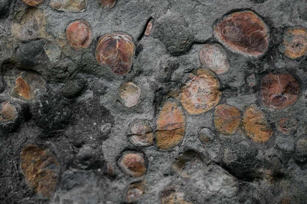 Sans doute, les restes d'un repas du dinosaure dans son intestin. © Robert Clark, National Geographic, Royal Tyrrell Museum