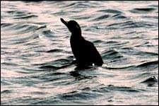 Les canards marins, comme la macreuse noire (Melanitta nigra), utilisent l'effet de sol lorsqu'ils volent au ras de l'eau. © J.P. Moulin