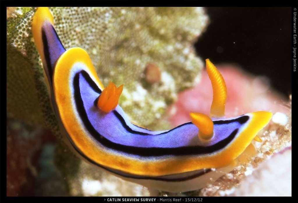 Les nudibranches sont des animaux marins caractérisés par leurs branchies nues. Ils forment un ordre de mollusques gastéropodes (Nudibranchia). Celui présent sur cette image vit sur la Grande barrière de corail. © Catlin Seaview Survey, Jayne Jenkins