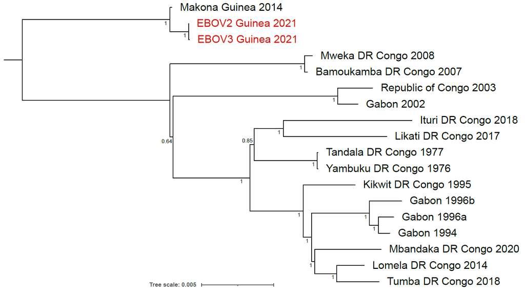 L'arbre phylogénétique de 16 souches d'EBOV. Celle de 2021 (en rouge) est très proche de celle de la souche de 2014 (Makona Guinea 2014). Les deux ont en commun une dizaine de mutations. © Dr. Sakoba Keita et al. virological.org