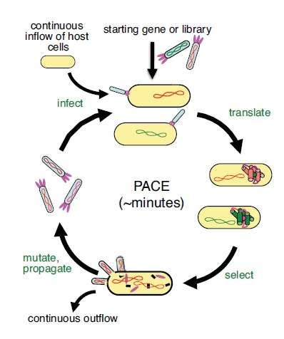 Les bactéries (ovale jaune) sont infectées (infect) par des phages (bâtonnet gris) qui injectent leur génome (rouge et vert). Les protéines virales sont traduites (translate), et seules celles qui ont des propriétés intéressantes vont être sélectionnées (select) et donner naissance à des phages infectieux (mutate, propagate). Les autres phages sont éliminés (continuous outflow). © Nature