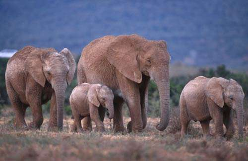 Troupeau d'éléphants dans le Parc National Addo en Afrique du Sud. Reproduction et utilisation interdites © IFAW