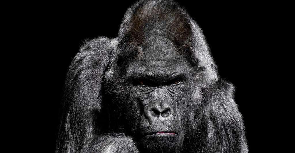 Quelles sont les différences entre le singe et l'Homme ? Ici, un gorille. © Gellinger, Pixabay, DP
