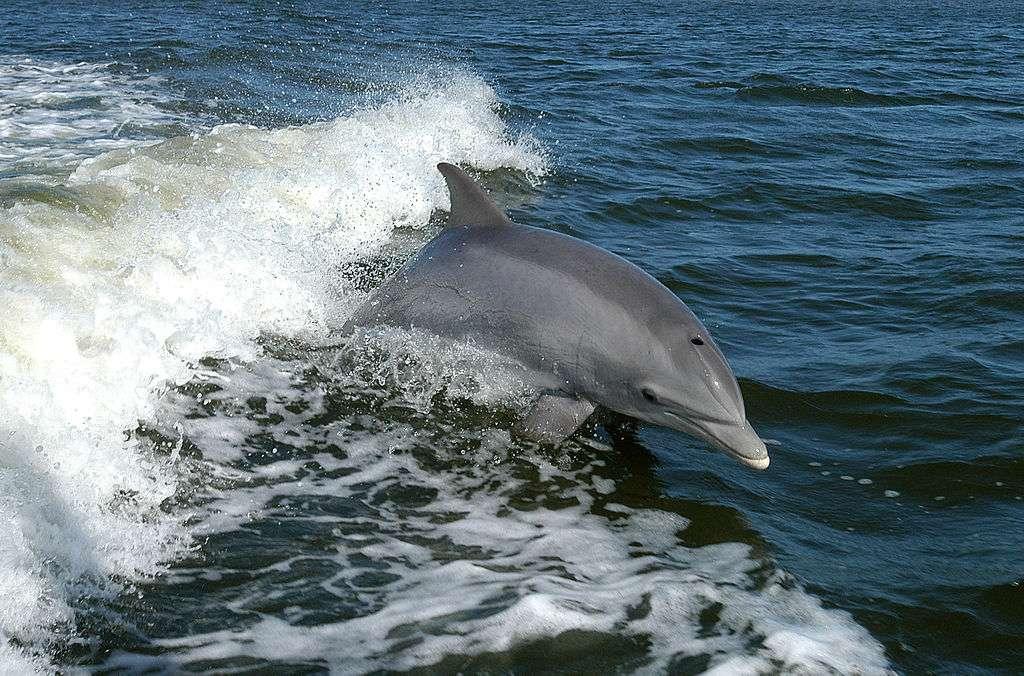 Le grand dauphin (Tursiops truncatus) est présent dans tous les océans. C'est le dauphin le plus commun et le mieux connu de l'Homme. © Nasa