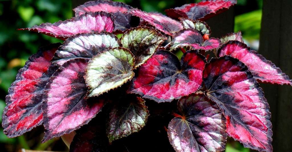Tout savoir sur les plantes d'intérieur et leurs « pouvoirs dépolluants ». Ici, Begonia rex. © Leoleobobeo, CCO