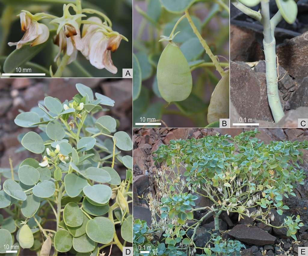 Fleurs (A), fruits (B), tige (C) feuilles (D) et spécimen (E) de la plante Oberholzeria etendekaensis. © W. Swanepoel, PLOS One 2015.