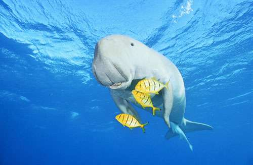 Les dugongs se reproduisent peu. © Alexis Rosenfeld, toute reproduction et utilisation interdites