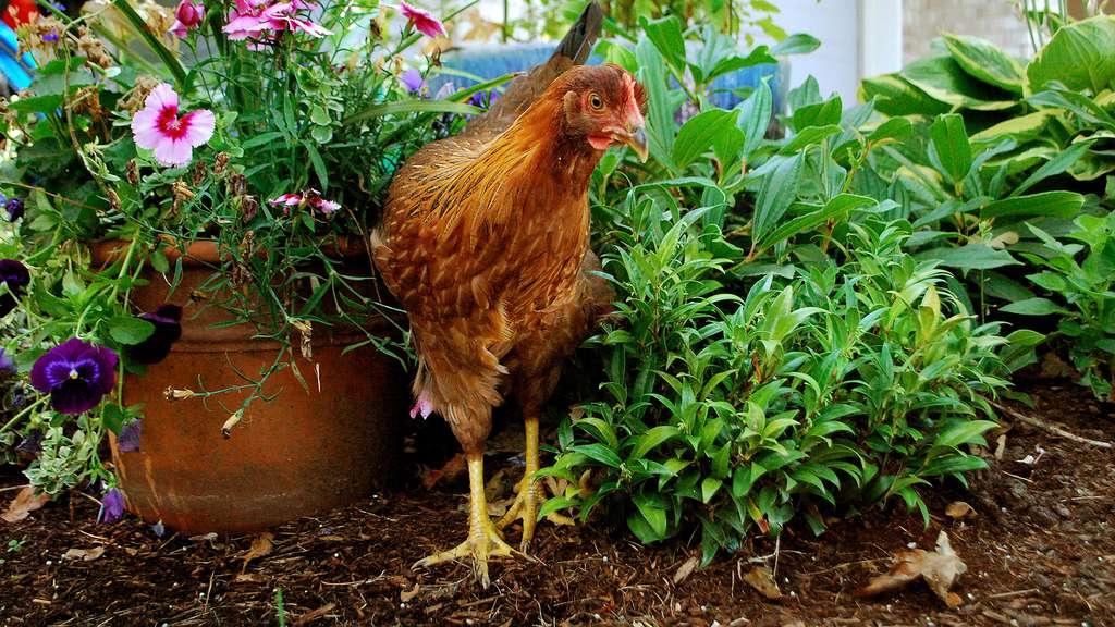 La welsumer, une poule hollandaise