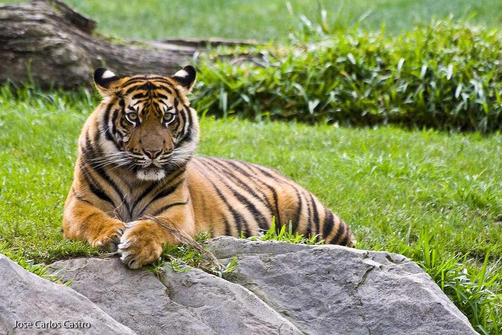Le tigre de Sumatra est la seule sous-espèce survivante sur l'île indonésienne. Il est classé depuis 2008 comme espèce en danger critique d'extinction par l'UICN. © Jose Carlos Castro, Flickr, cc by nc 2.0