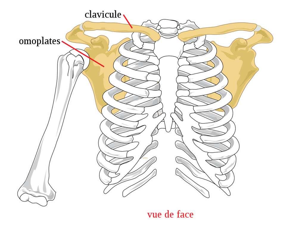 La ceinture scapulaire est responsable du positionnement des mains et de la stabilité des bras. © Google Public Domain