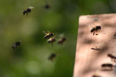 Abeilles rentrant à la ruche. © Sylvie Nomblot, DR