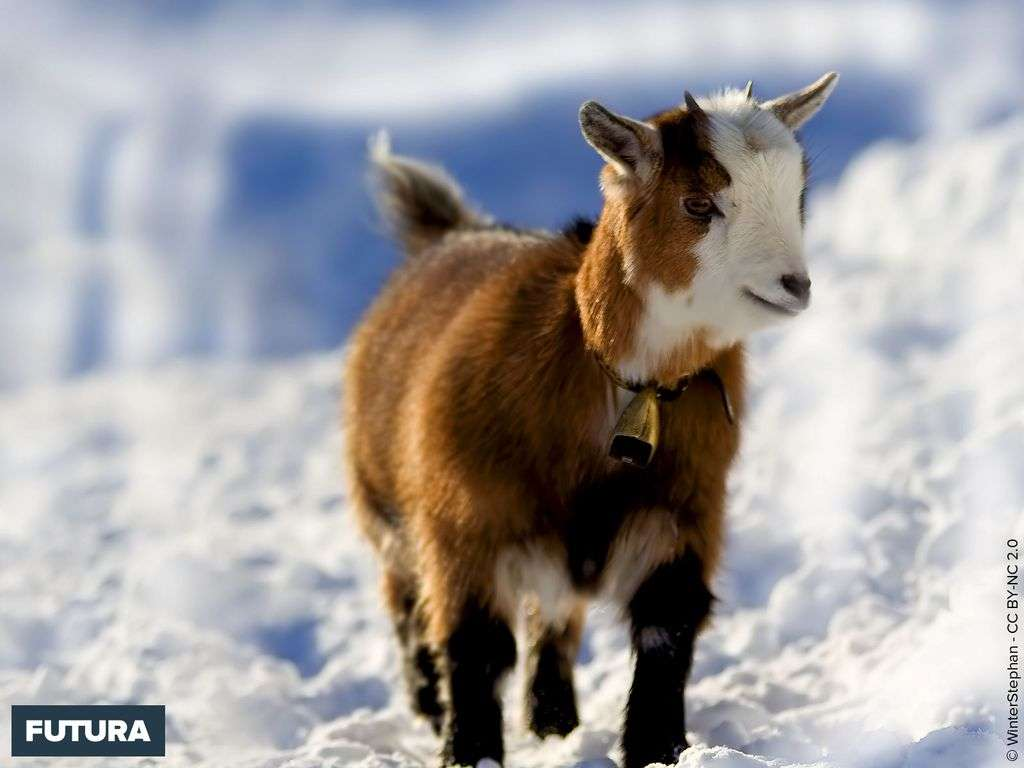 Chevreau dans la neige