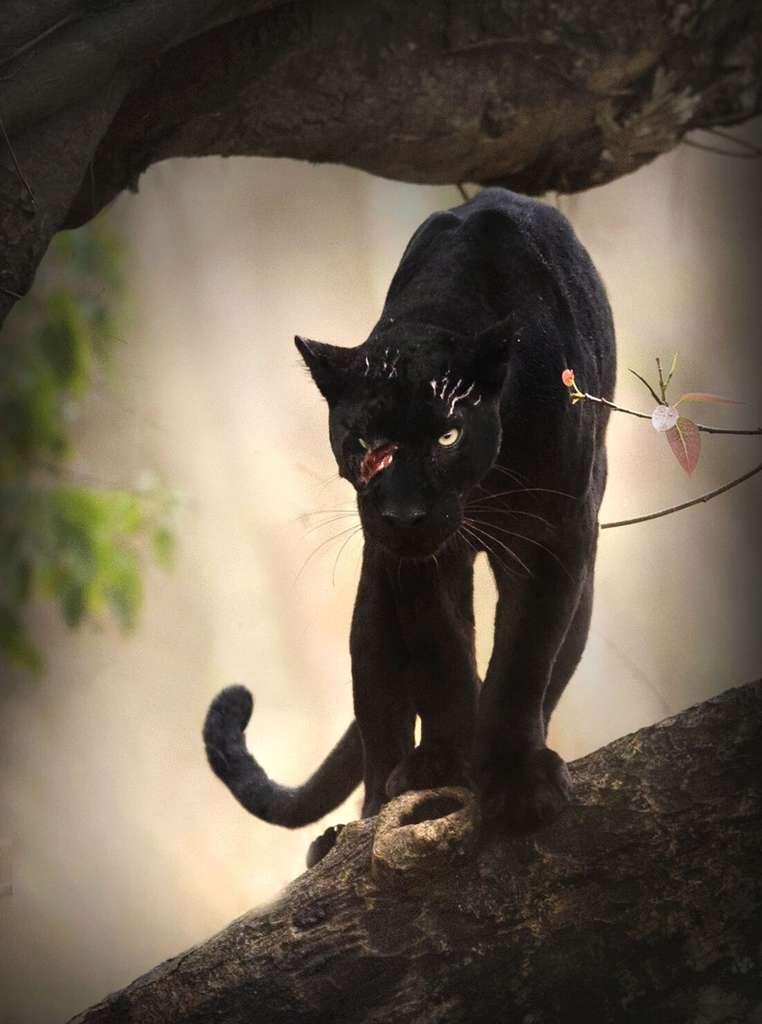 La panthère noire est un léopard avec une mutation génétique. Appelée mélanisme, celle-ci se trouve également chez le jaguar. © National Geographic