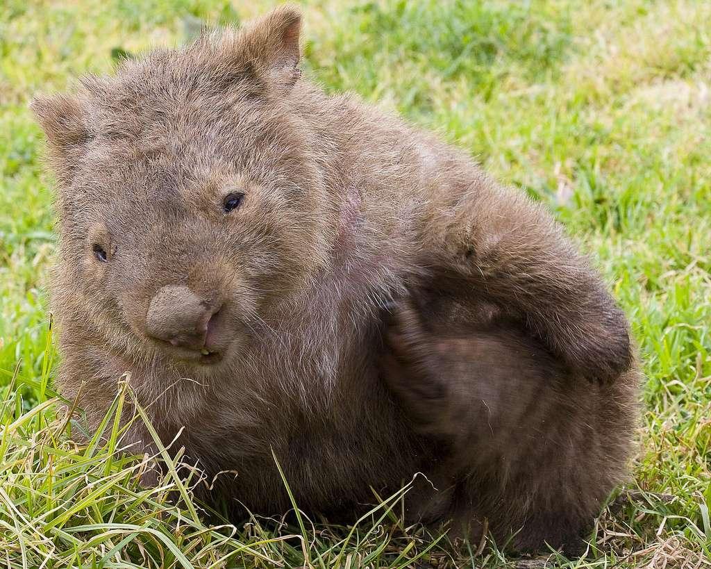 Le wombat, un curieux animal d'Australie
