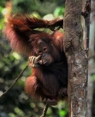 Orang-outan dans son habitat naturel. © Domaine public