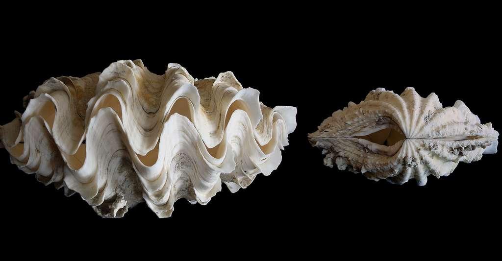 Tridacna costata. © MerlinCharon, Wikimedia commons, DP