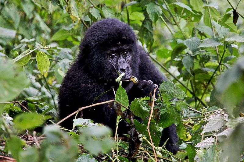 Jeune gorille du groupe Nshongi en Ouganda. © Justin Norton, CC by 2.0