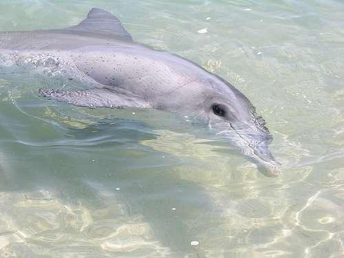 Les grands dauphins produisent des sons semblables à ceux des épaulards, mais ils recourent davantage aux clics et aux sifflements, alors que les orques produisent plus d'appels pulsés. © Mark O'Neil, Wikimedia Commons, cc by sa 3.0