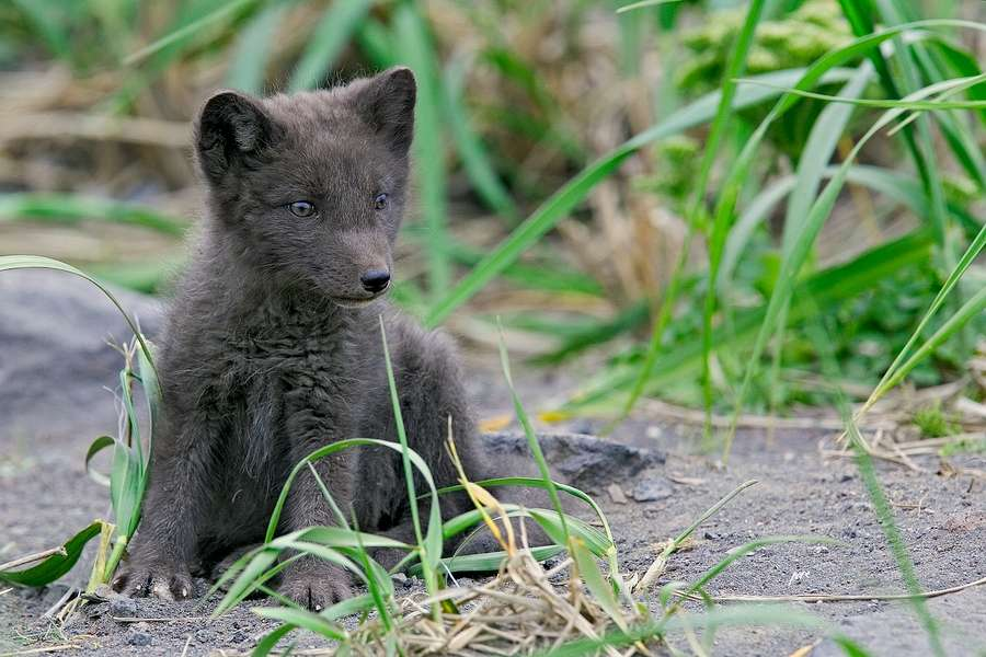 Jeune renard polaire