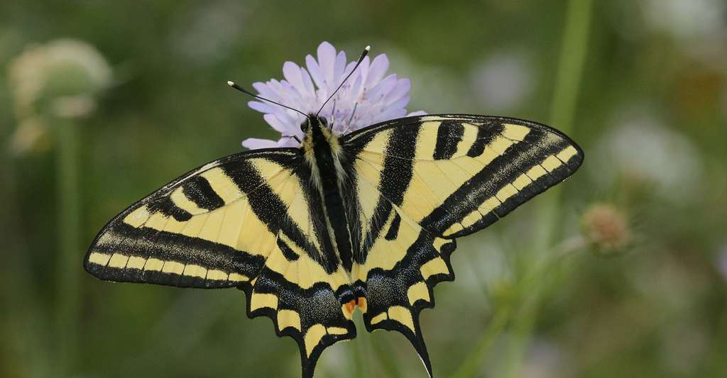 Quels sont les dangers qui menacent les papillons ? © Jiri Prochazka, Shutterstock