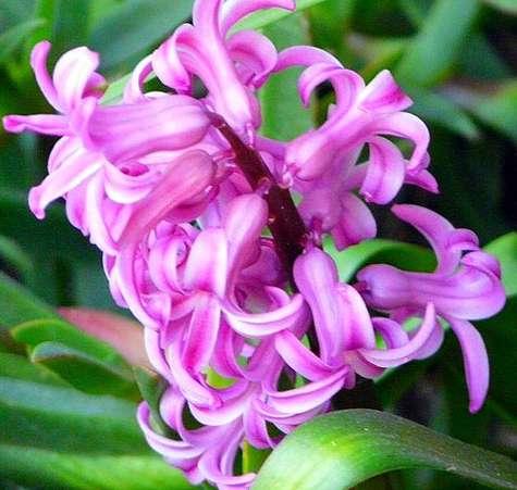 Les fleurs de la jacinthe s'ouvrent en étoile. © Chris230, Flickr - Licence Creative Common by-nc-sa 2.0