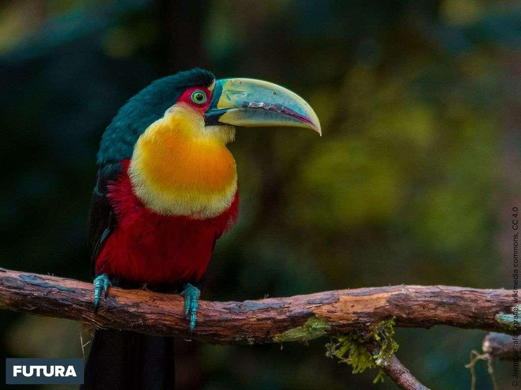 Toucan à ventre rouge vit dans mes forêts humides du sud-est du Brésil
