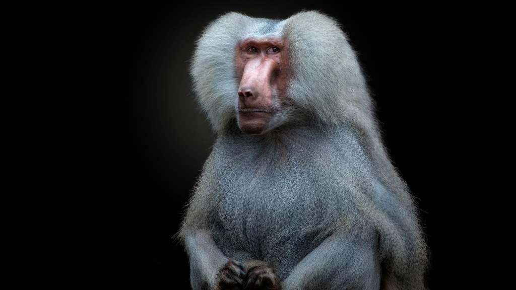 Le Babouin hamadryas, un singe sacré en Égypte