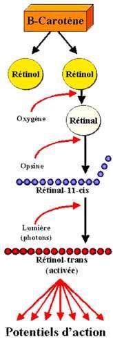 Rétinène-rétinal-rétinol. © Reproduction et utilisation interdites