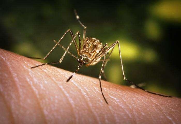 Les moustiques du genre Culex sont les vecteurs du virus du Nil occidental, et transmettent le plus souvent le pathogène des oiseaux infestés à l'Homme. © J. Gathany, CDC, DP