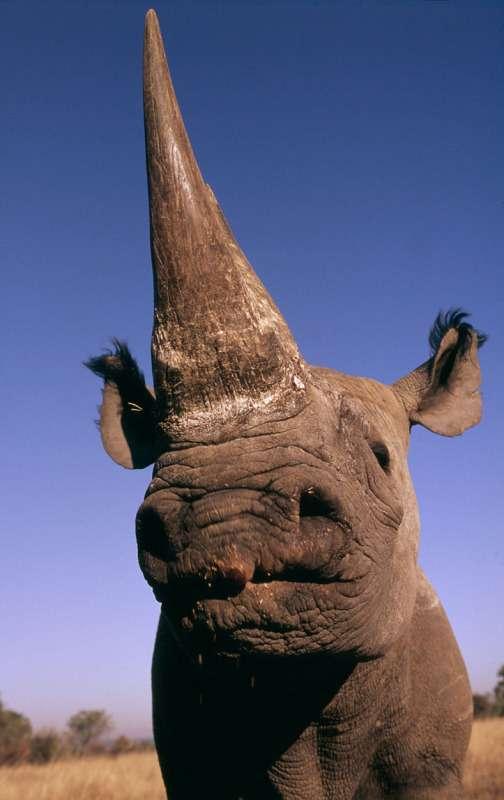 Le rhinocéros noir ne va pas bien. La faute à sa corne, à laquelle de nombreux humains attribuent des propriétés bénéfiques. © Martin Harvey, WWF-Canon