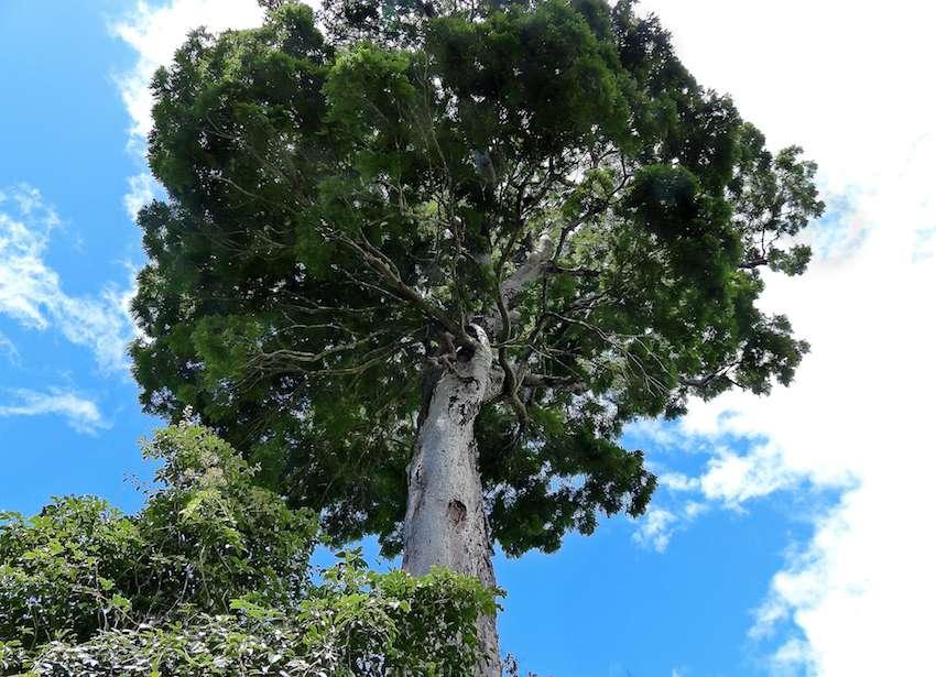Il ne resterait plus que 25 spécimens de Dinizia jueirana-facao dans le monde. © Gwilym P. Lewis