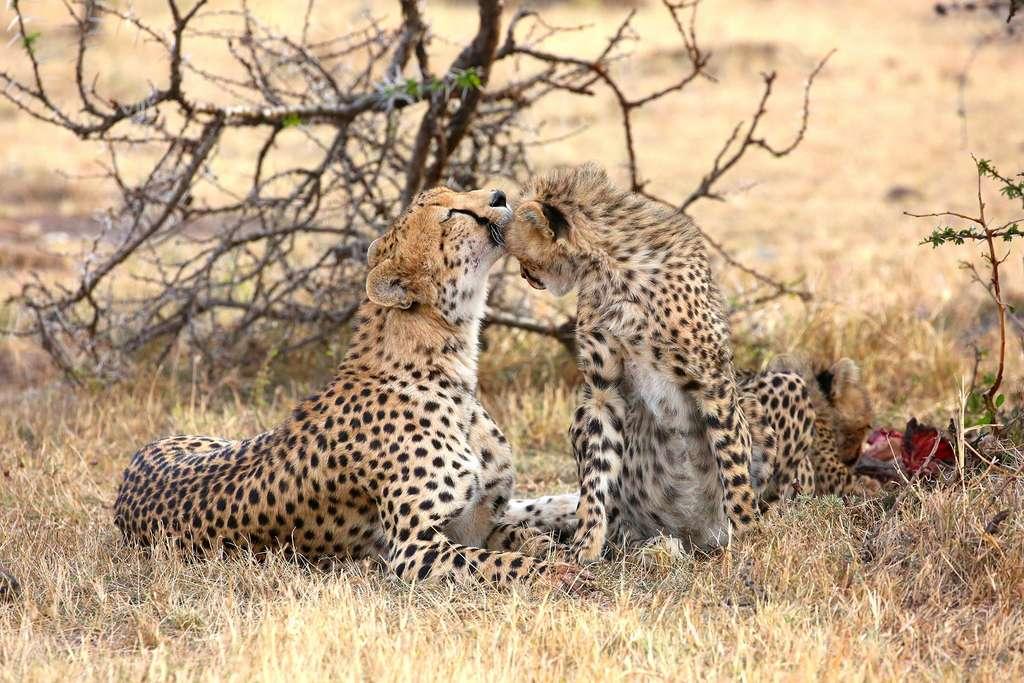 Couple de guépards, Naboisho Conservancy, Kenya. © Graeme Green, tous droits réservés