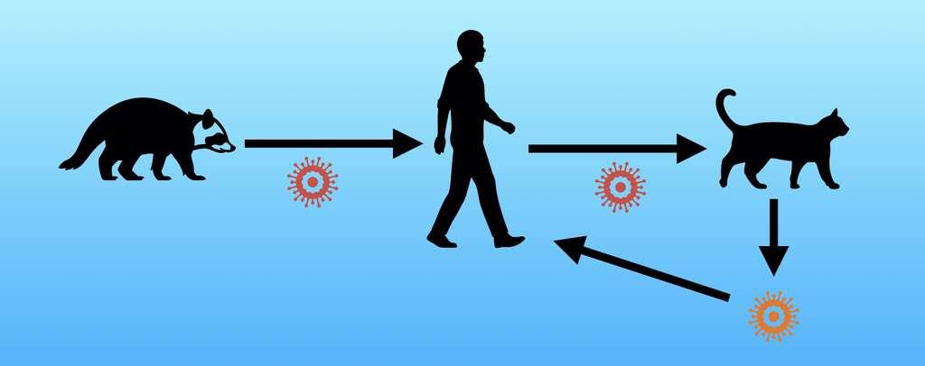 Le mécanisme de contamination inversée : le virus passe de l'animal à l'Homme qui le transmet à une nouvelle espèce. Cette dernière peut constituer un nouveau réservoir animal et retransmettre une version mutée du virus à l'Homme. © Futura