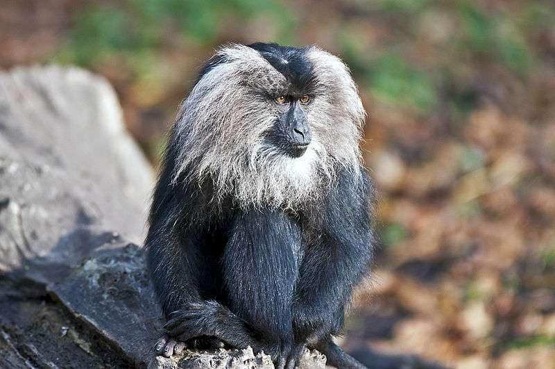 Portrait de macaque à queue de lion. © Zacke82, CC by-SA 3.0