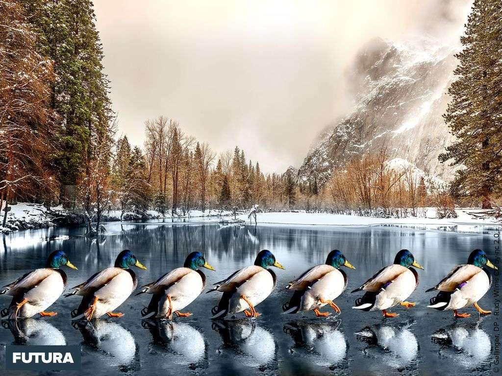 La danse des canards sur un lac gelé