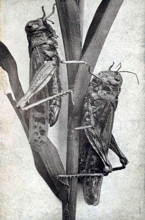 Melanoplus spretus, déclaré éteint en 2014. © Jacoby's Art Gallery, Wikipedia