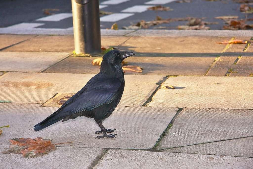 Les corbeaux de villes sont plus grassouillets que ceux des campagnes. © Adrian Scottow, Flickr
