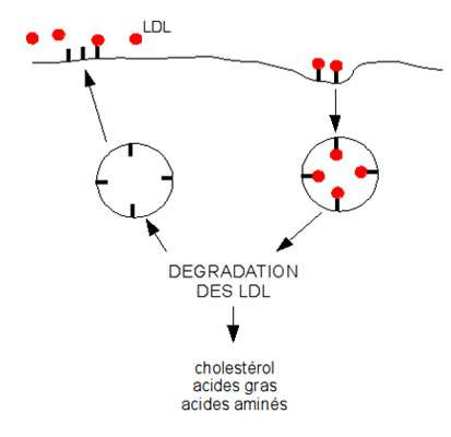 Schéma de la dégradation des LDL dans les cellules du foie. Les LDL sont reconnues par leurs récepteurs membranaires. Lorsque les LDL sont dégradées dans la cellule, les récepteurs membranaires peuvent être recyclés. Source : schéma personnel, MC Jacquier.