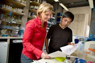 Clodagh O'Shea (premier plan) et Horng Ou ont travaillé ensemble sur ce projet. Ils espèrent qu'un jour ce travail pionnier mènera vers une nouvelle façon de traiter le cancer à partir d'un adénovirus. © Salk Institute fot Biological Studies