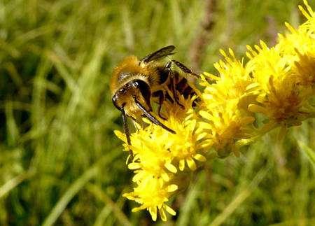 Les abeilles sont au cœur de la pollinisation. Les collètes du lierre, ici en photo, sont les abeilles les plus tardives. Elles émergent habituellement en septembre ou octobre et se nourrissent presque exclusivement de pollen de lierre. Lorsqu'une génération précoce voit le jour (en juillet, août), le lierre n'est pas encore en fleur. Les abeilles se rabattent alors sur d'autres plantes telles que les solidages, pour nourrir les larves. © Patrick Straub