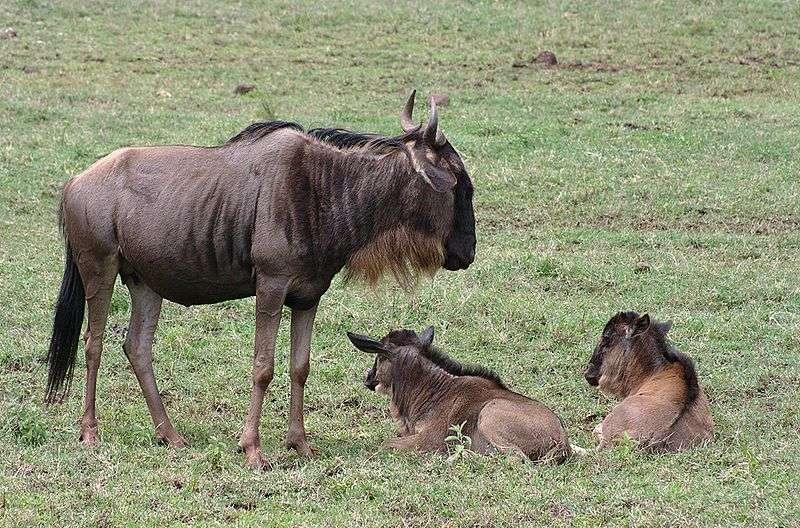 Femelle gnou et veaux. © Hamon Jp, GNU FDL Version 1.2