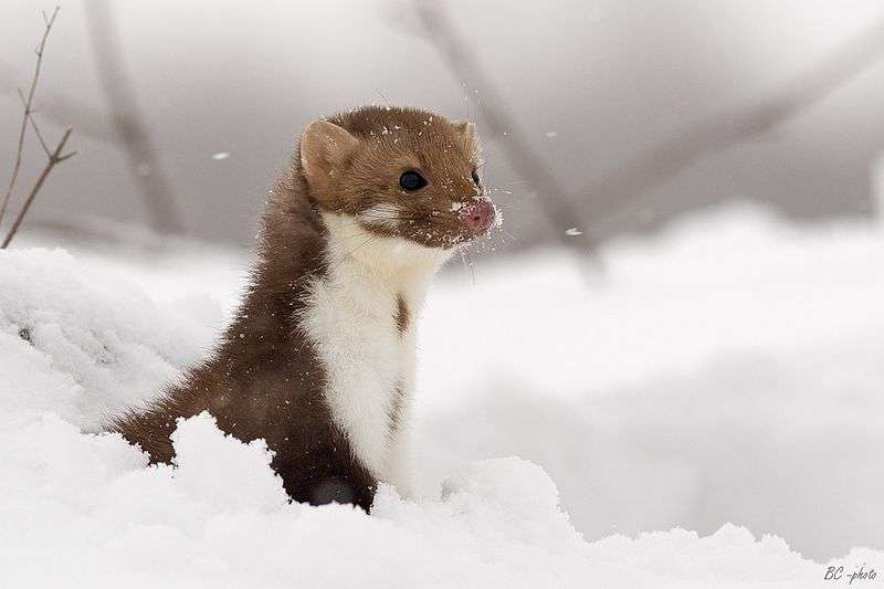 Fouine en hiver. © Bohus Cicel, GNU FDL Version 1.2
