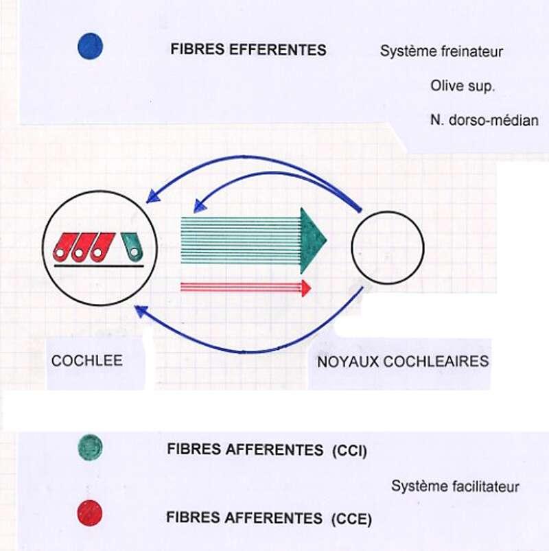 La systématisation nerveuse auditive évoque un mécanisme rétroactif (feed-back). En vert: fibres afférentes en provenance du système cilié interne, en rouge: fibres afférentes en provenance du système cilié externe, en bleu : système efférent rétro-actif. 18. © Roland Carrat - Toute reproduction interdite