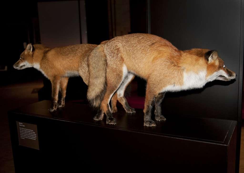 La reproduction des renards : ils restent liés