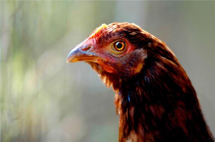 Le poulet contaminé à la dioxine n'est pas consommable. © Stockvault