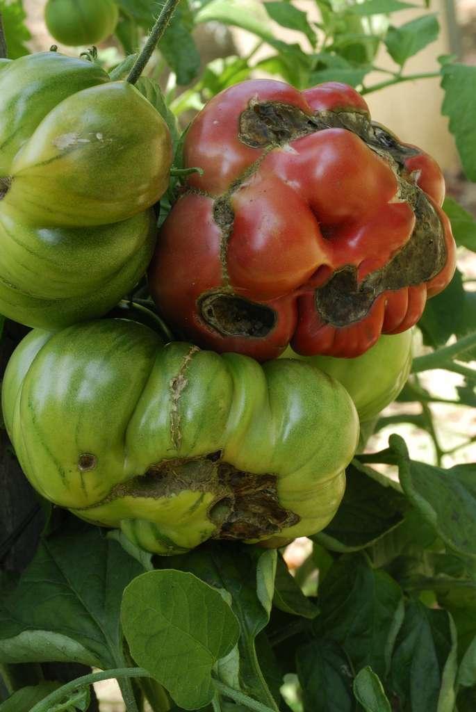 L'alternariose de la tomate peut toucher les feuilles mais le fruit également, elle est causée par le champignon Alternaria solani. © coulanges, Adobe Stock