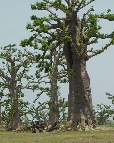 Baobabs (Adansonia digitata) de la forêt de Nguékokh au Sénégal. © S . Garnaud - Reproduction et utilisation interdites
