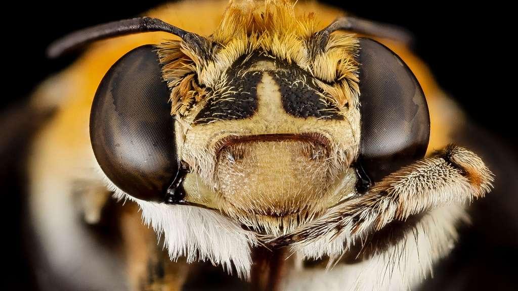 Une abeille Amegilla d'Afrique du Sud
