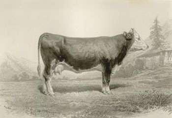 Une vache de Berne, à l'origine de la montbéliarde. © UPRA - Tous droits réservés